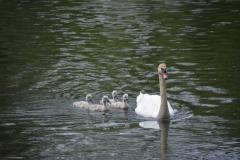 Birds Swan Babies #3535