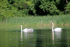 Birds Swans Family #3536