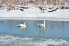 Birds Swans Winter #3116