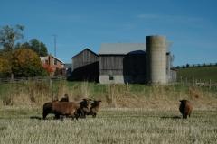 Campbellford Sheep Farm #1654