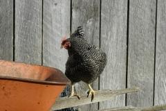 Chicken Barred Rock #1111