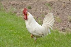 Chicken White Rooster #3545
