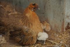 Chickens Hen Chick #1996