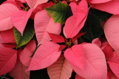 Flowers Poinsettia Pink #2258