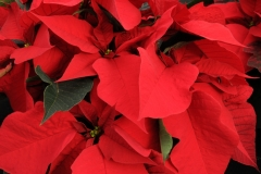 Flowers Poinsettia Red 2 #2260