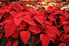Flowers Poinsettia Red 3 #2261