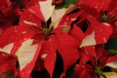 Flowers Poinsettia Red White #2263