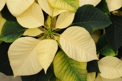 Flowers Poinsettia White 2 #2265