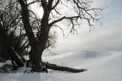 Consecon Tree Winter #2125