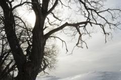 Consecon Tree Winter (v) #2126