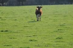 Cow Bull #1663