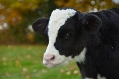 Cow Calf #2953