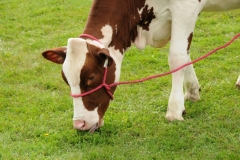 Cow Red Holstein #2004