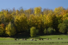Cows Campbellford #664