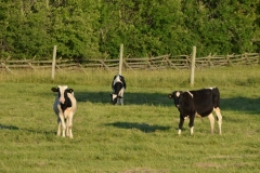 Cows Holstein Calves #2955