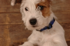 Dog Jack Russell #670