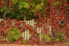 Fence Ivy Fall #3189