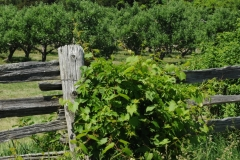 Fence Orchard #2769
