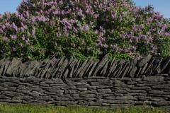 Fence Rock Lilacs #2981