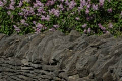 Fence Rock Lilacs (v) #2983