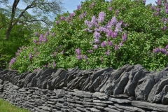 Fence Stone Lilacs #3192