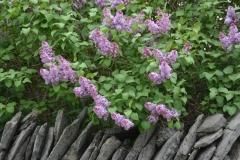 Fence Stone Lilacs Closeup #3193