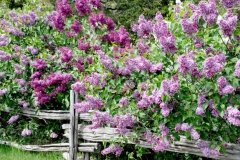 Lilacs Purple Rail Fence #3586