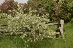 Lilacs Spring #1560