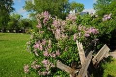 Odessa Babcock Mill Lilacs #2400