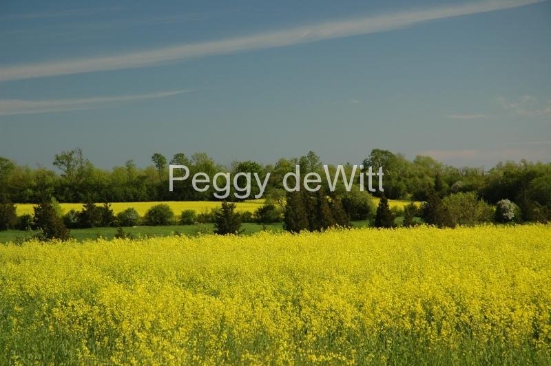 Field Canola Yellow #1821