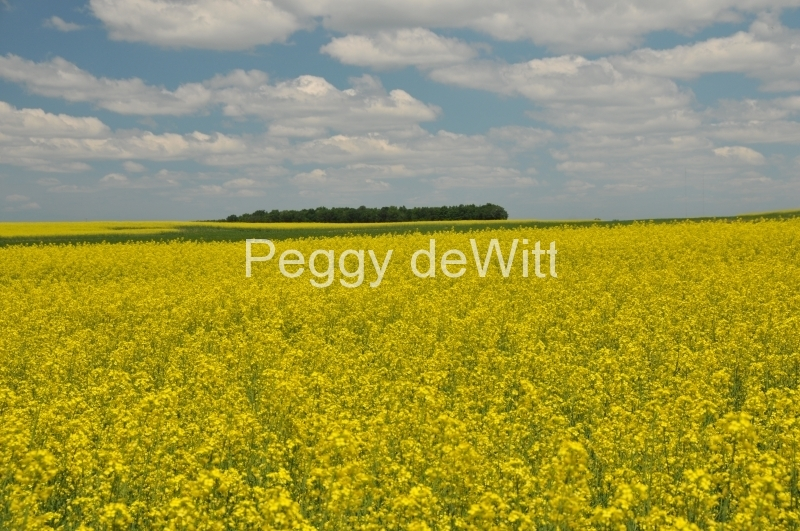 Field Canola Yellow Hillier #2990