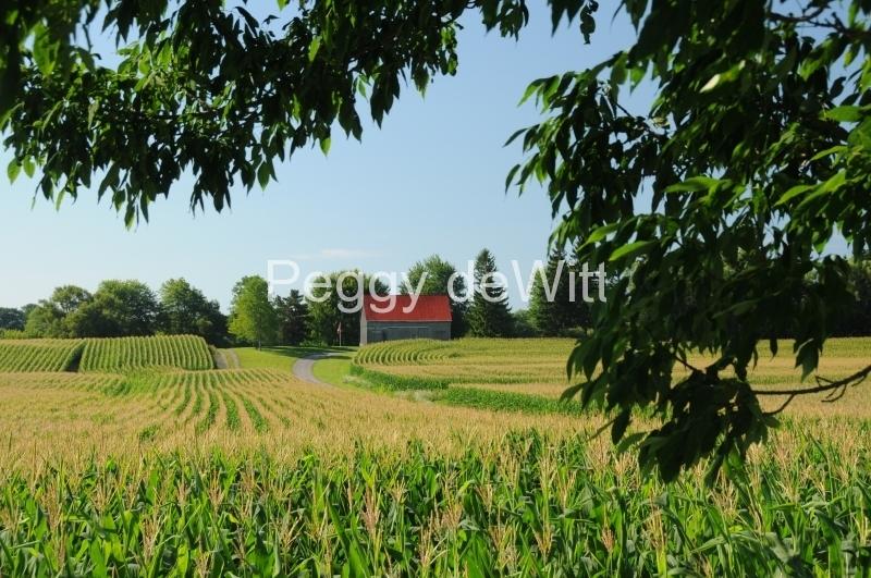 Field Corn #2816