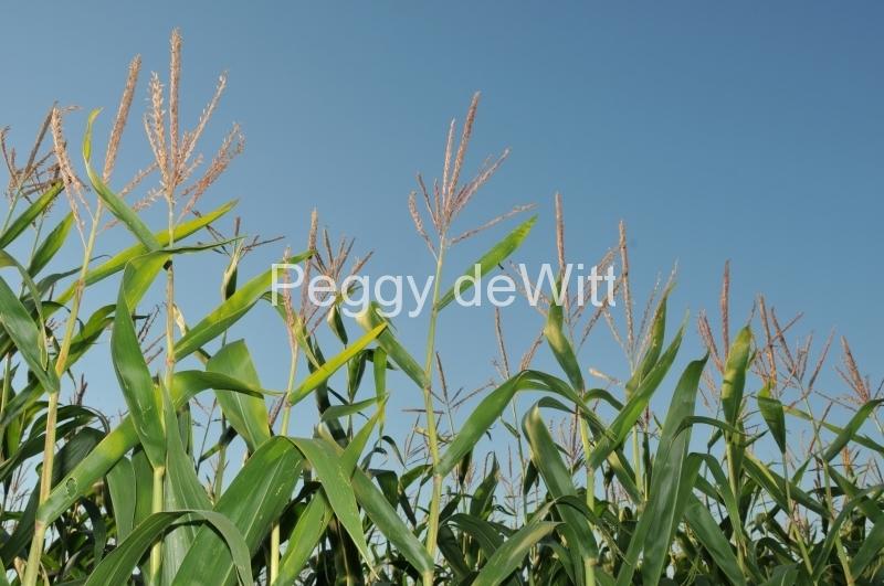 Field Corn Blue Sky #2991