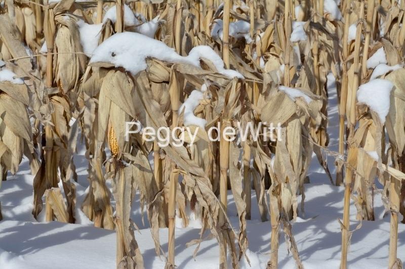 Field Corn Cobs Winter #3198
