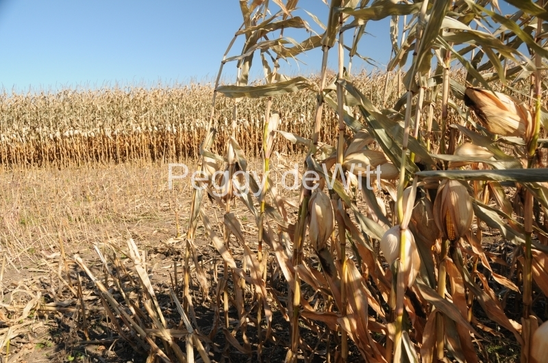Field Corn Fall #2515