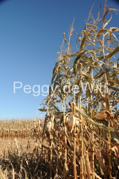 Field Corn Fall (v) #2514
