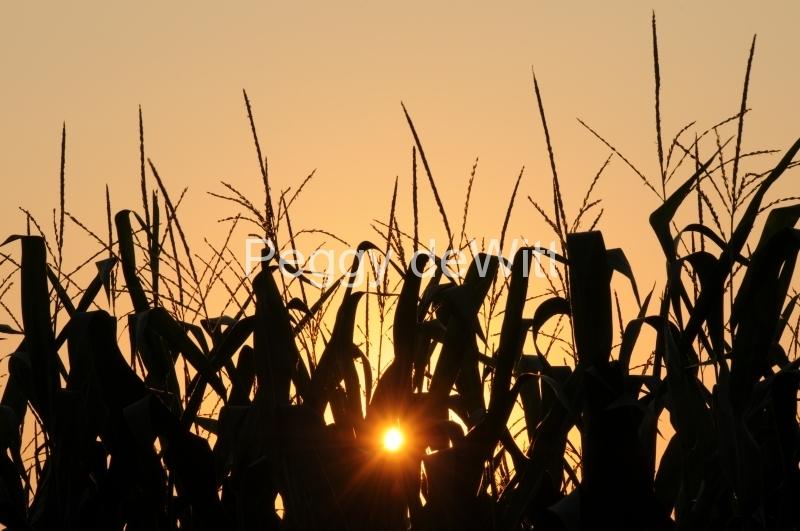 Field Corn Sunset #2846