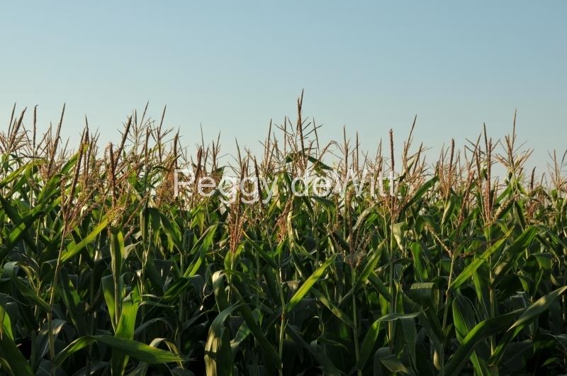 Field Corn Tall #2996