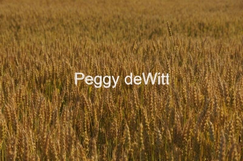 Field Grain Wheat #1822