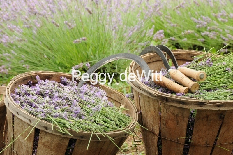 Field Lavender Baskets Full # 2155