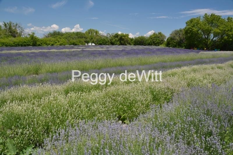 Field Lavender Beehives #3200