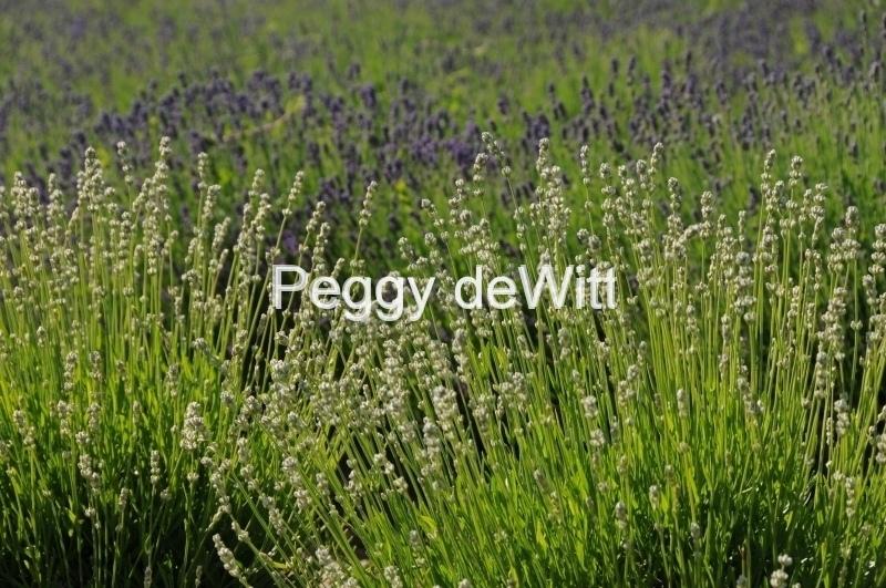 Field Lavender Closeup 2 #2153