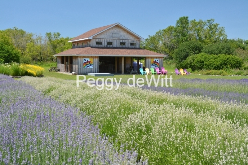 Field Lavender Shed Close #3201