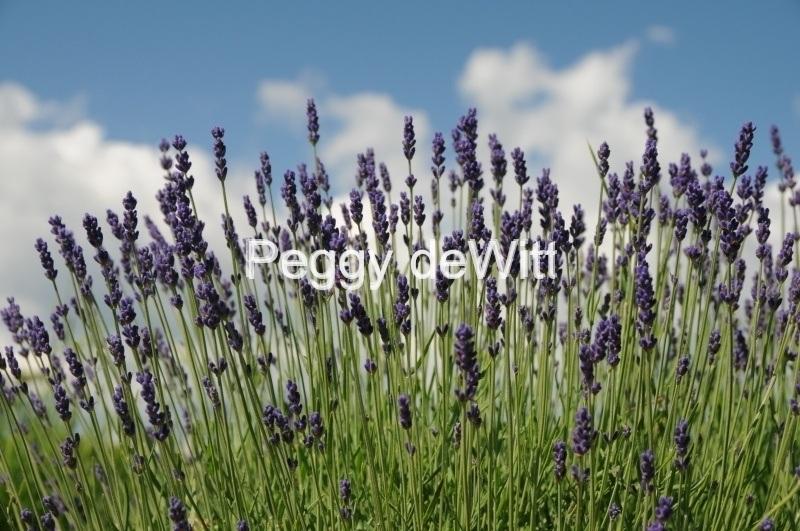 Field Lavender Sky #2149