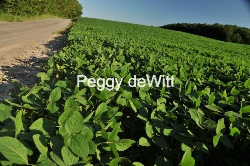 Field Soya Beans #3022