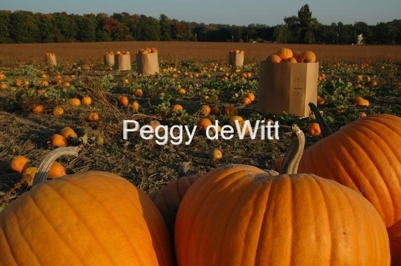 Pumpkin Field #647