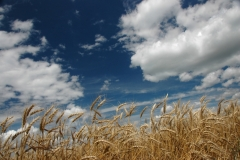 Field Barley #1502