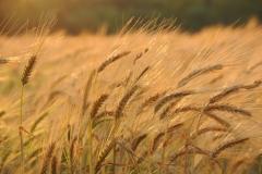 Field Barley Fall #2756