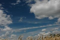 Field Barley (v) #1511