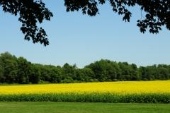 Field Canola Milford 2 #2511
